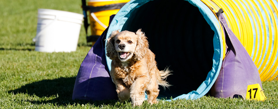 Cocker Spaniel on an agility course