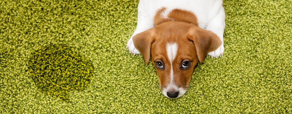 Jack russell terrier lying on a carpet and looking guilty