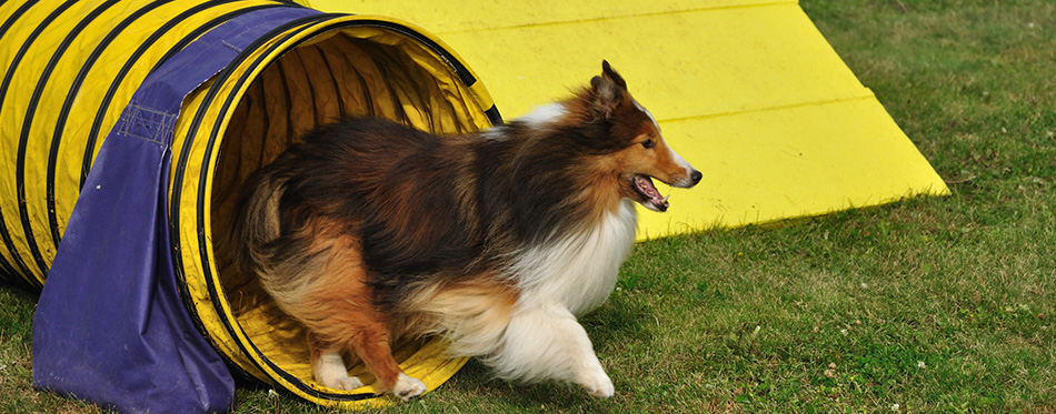 Shetland Sheepdog in tunnel