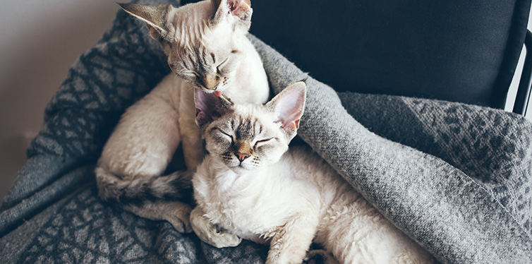 adorable and funny Devon Rex kittens