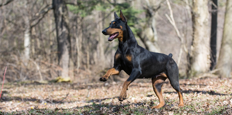 doberman running