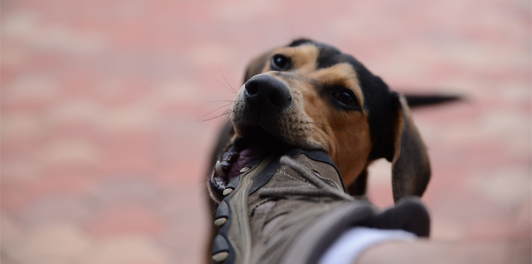 dog biting shoe