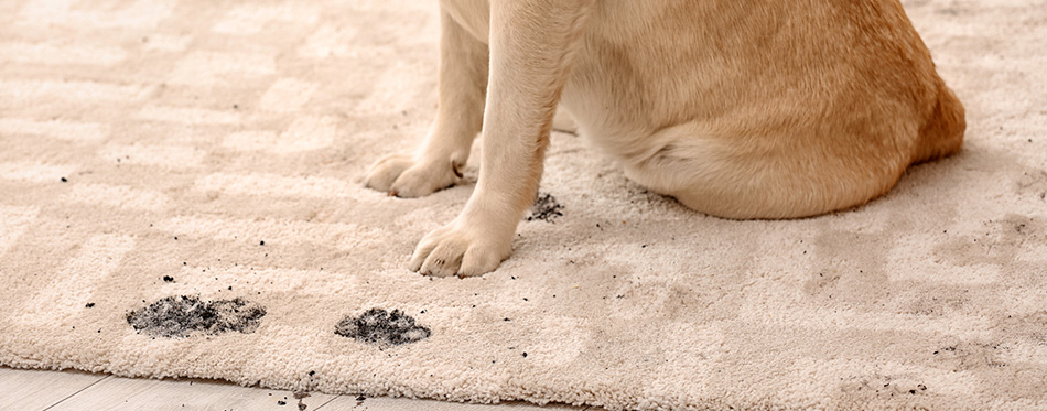 dog leaving muddy paw prints on carpet
