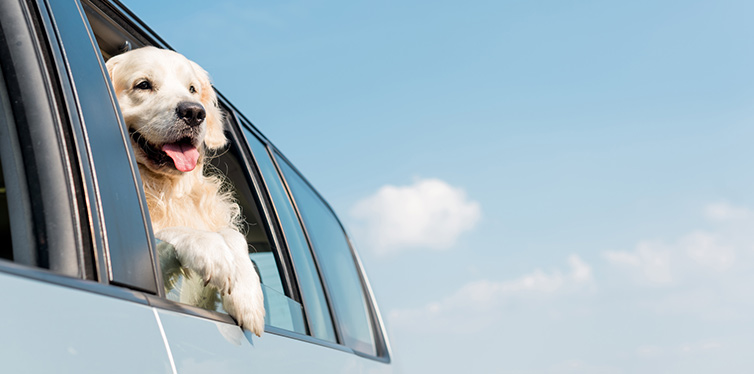 golden retriever dog looking out car window