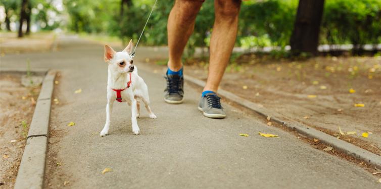 man walking a chihuahua