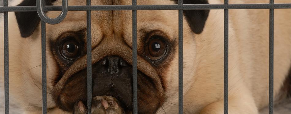 pug in a crate