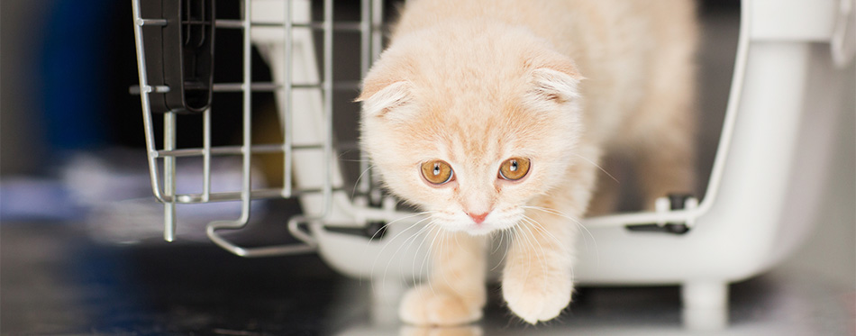 scottish fold kitten in cat carrier