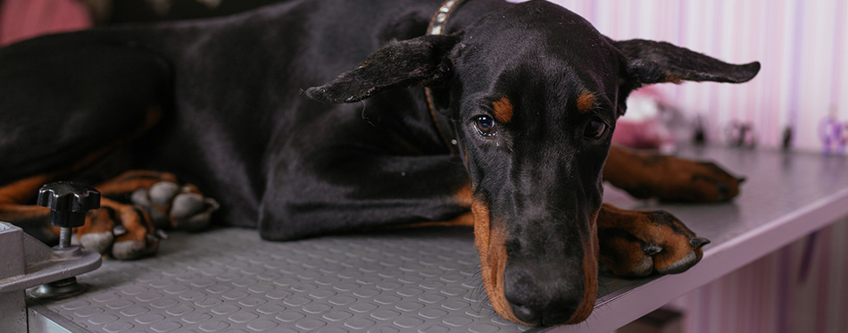 young purebred doberman puppy