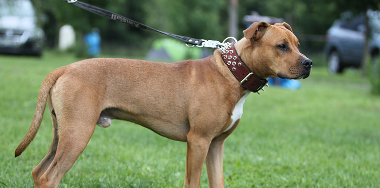 American Pit Bull Terrier standing on the grass