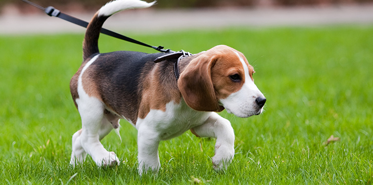Beagle dog on the scent