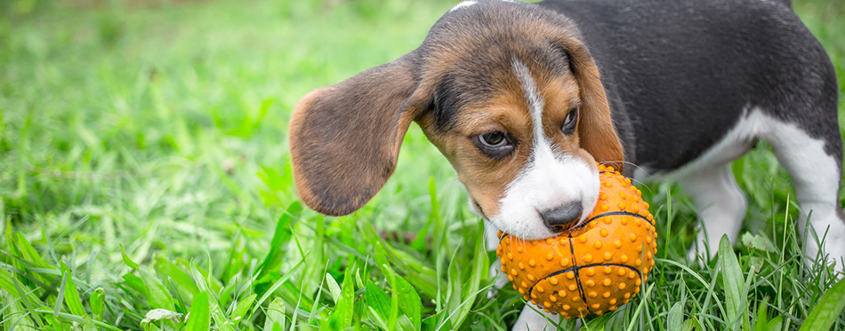 Beagle puppy playing with ball