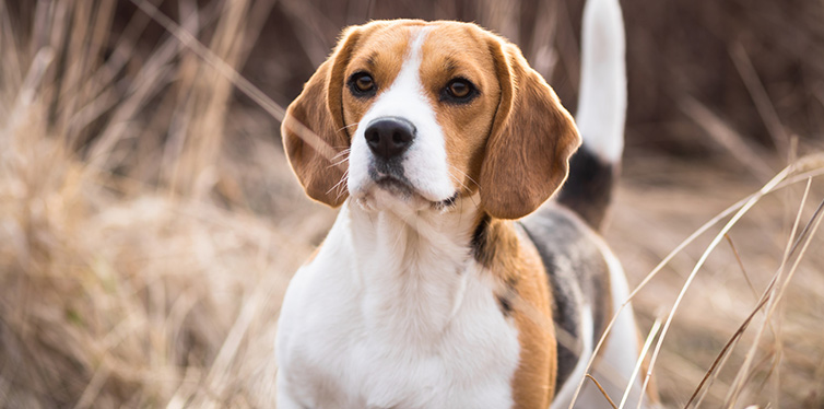 Beautiful Beagle
