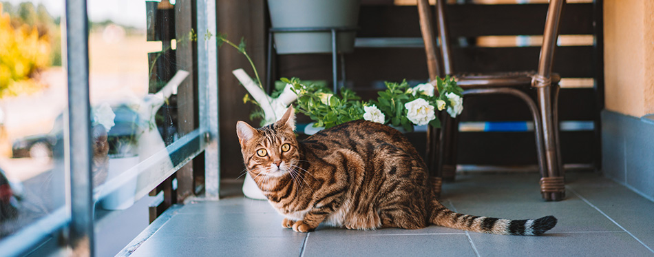 Beautiful bengal cat playing on the balcony