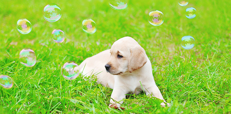 Beautiful dog puppy Labrador Retriever with soap bubbles