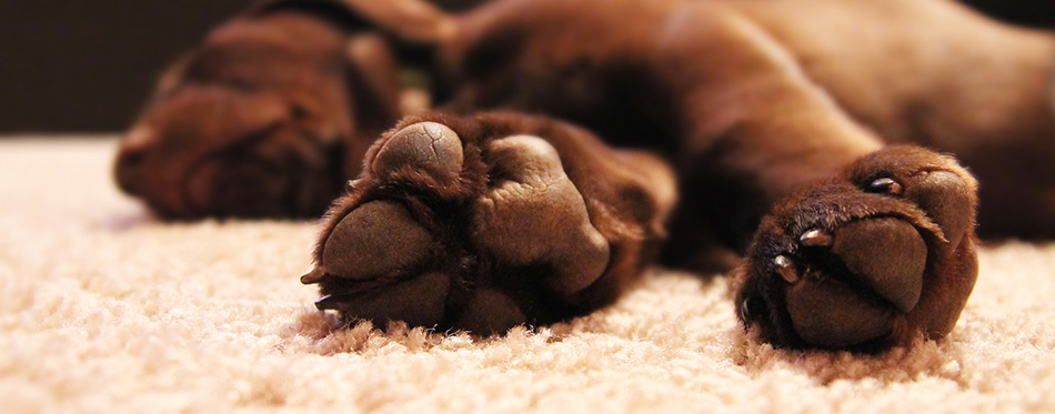 Chocolate lab puppy sleeping