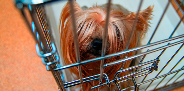 Cute Yorkshire Terrier uncut doggie in a cage
