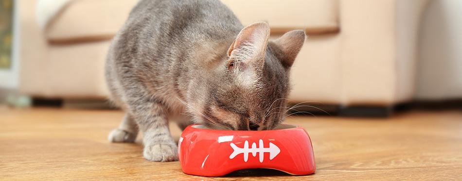Cute cat eating food