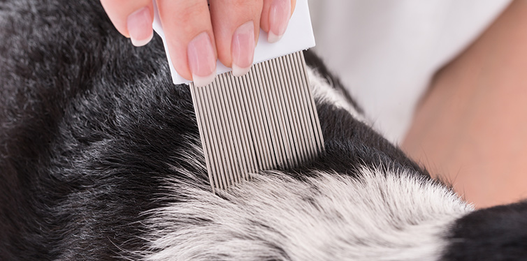 Examining Dog's Hair With Comb