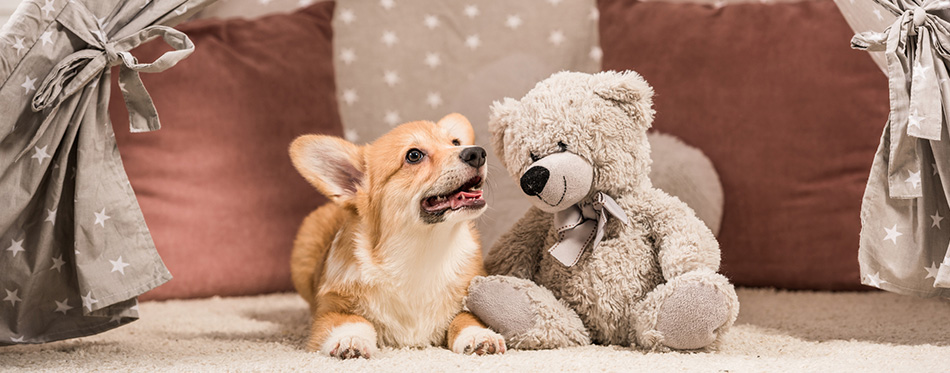 Funny welsh corgi dog lying in wigwam with teddy bear
