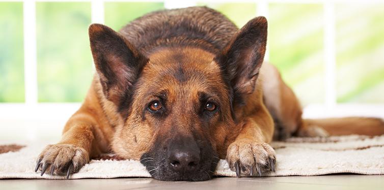 German shephard dog laying