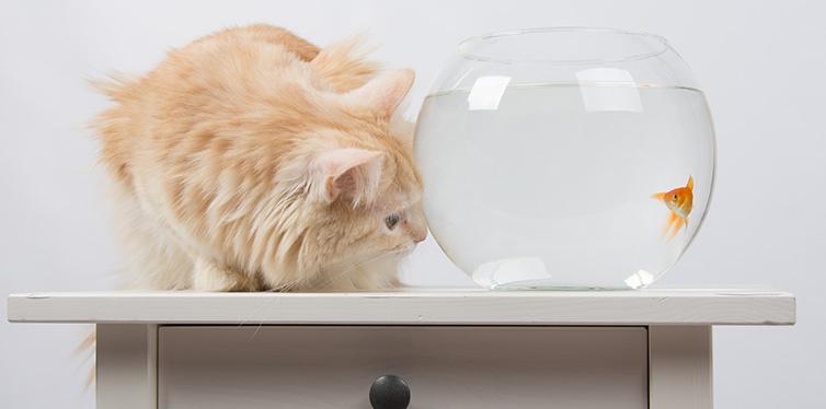 Goldfish scared cat
