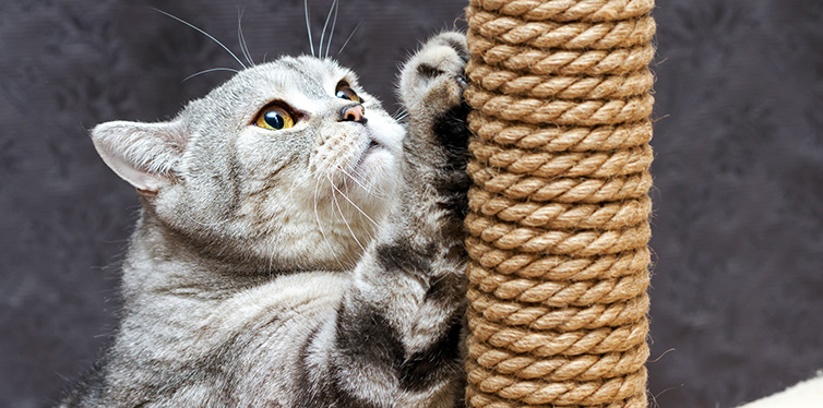 Gray shorthair scottish striped cat scratching a brown post