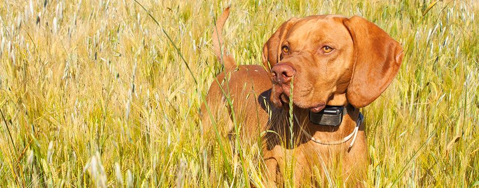 Hunting dog in the ripening grain
