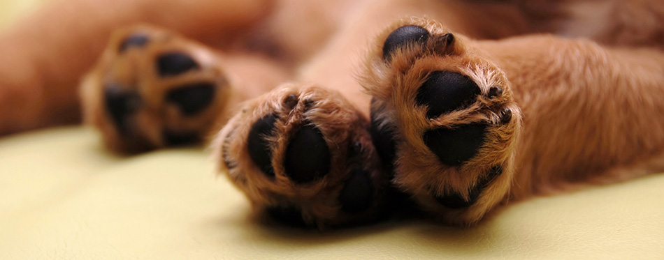 Paws of sleeping puppy