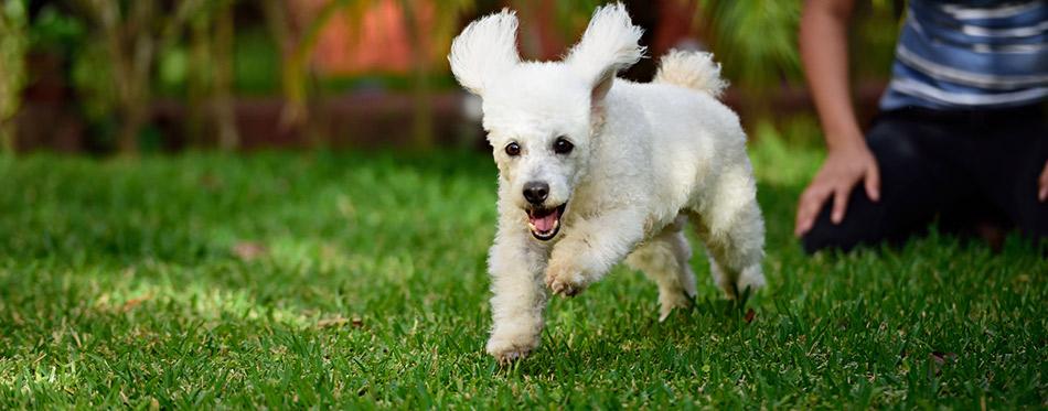 Poodle run away
