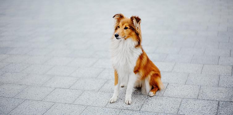 Shetland sheepdog on a walk