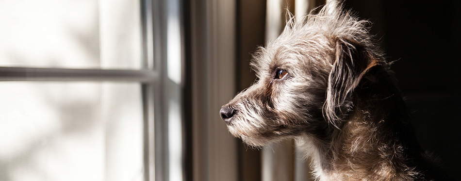Terrier crossbreed dog looking out a window