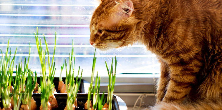 The red cat looks and sniffs the green onions