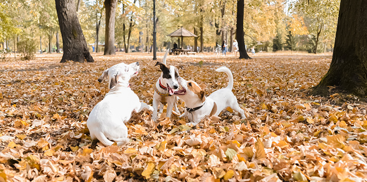 Three Jack Russell dogs walking in park at autumn season
