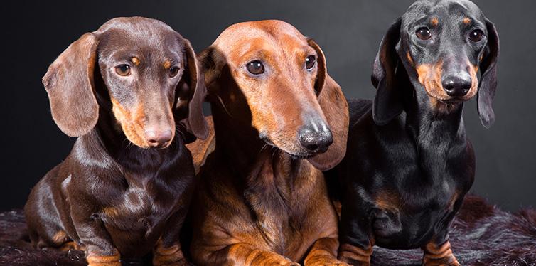 Three dachshund dogs