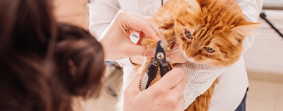 Vet cuts the nails of the cat