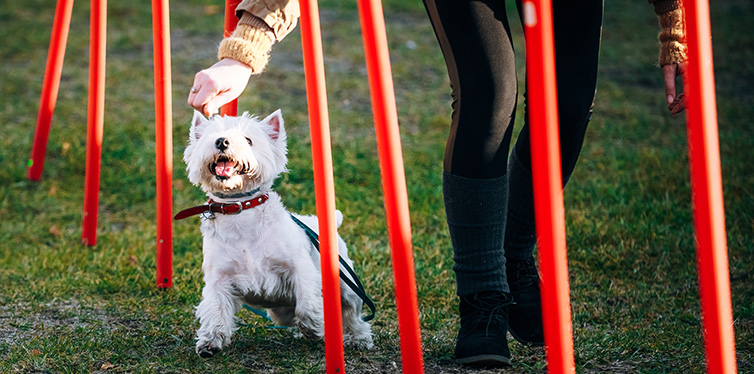 West highland white terrierdog doing agility