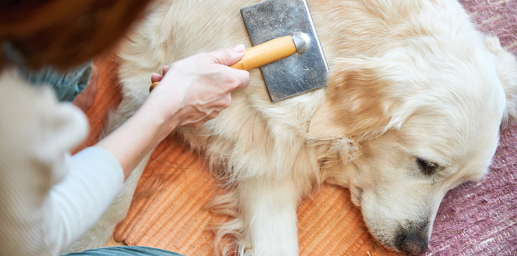 Woman combs old Golden Retriever