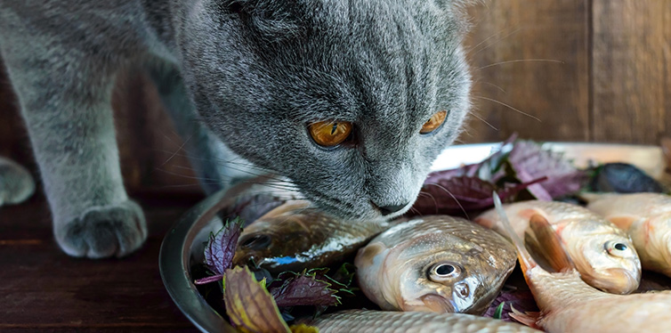 cat wants to eat fish