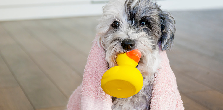 cute dog with towel and yellow rubber duck