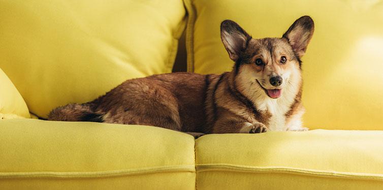 dog lying on sofa