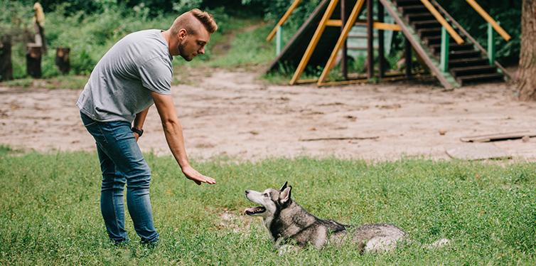man and husky dog training lying command