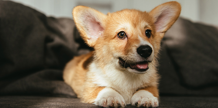 welsh corgi puppy sitting on sofa at home