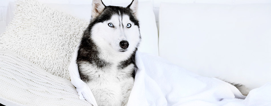 Beautiful cute husky with towel lying