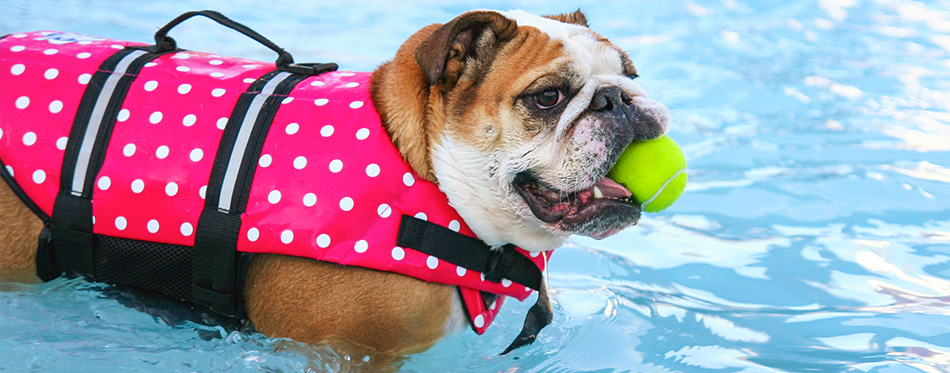 Bulldog in a life vest with a tennis ball
