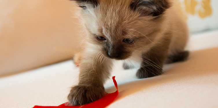 Cat playing with ribbon