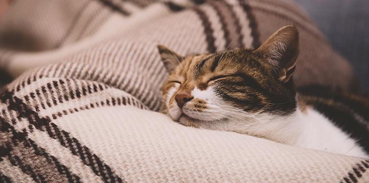 Cue cat sleeping on blanket