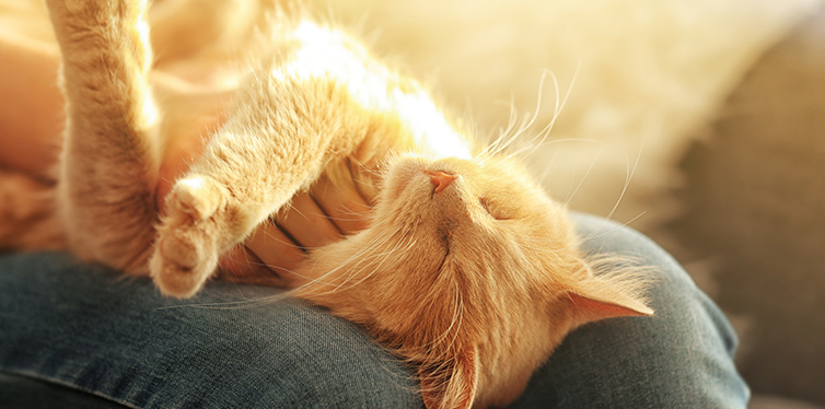 Cute cat lying on its owner's knees