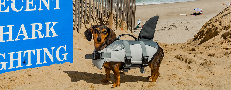 Dachshund puppy in a shark costume