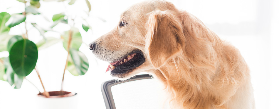 Golden retriever dog looking on plant
