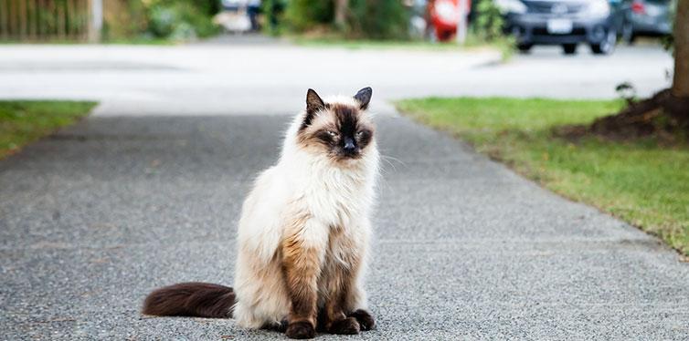 Grumpy Balinese Cat